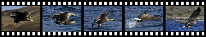 Sea Eagle catching fish